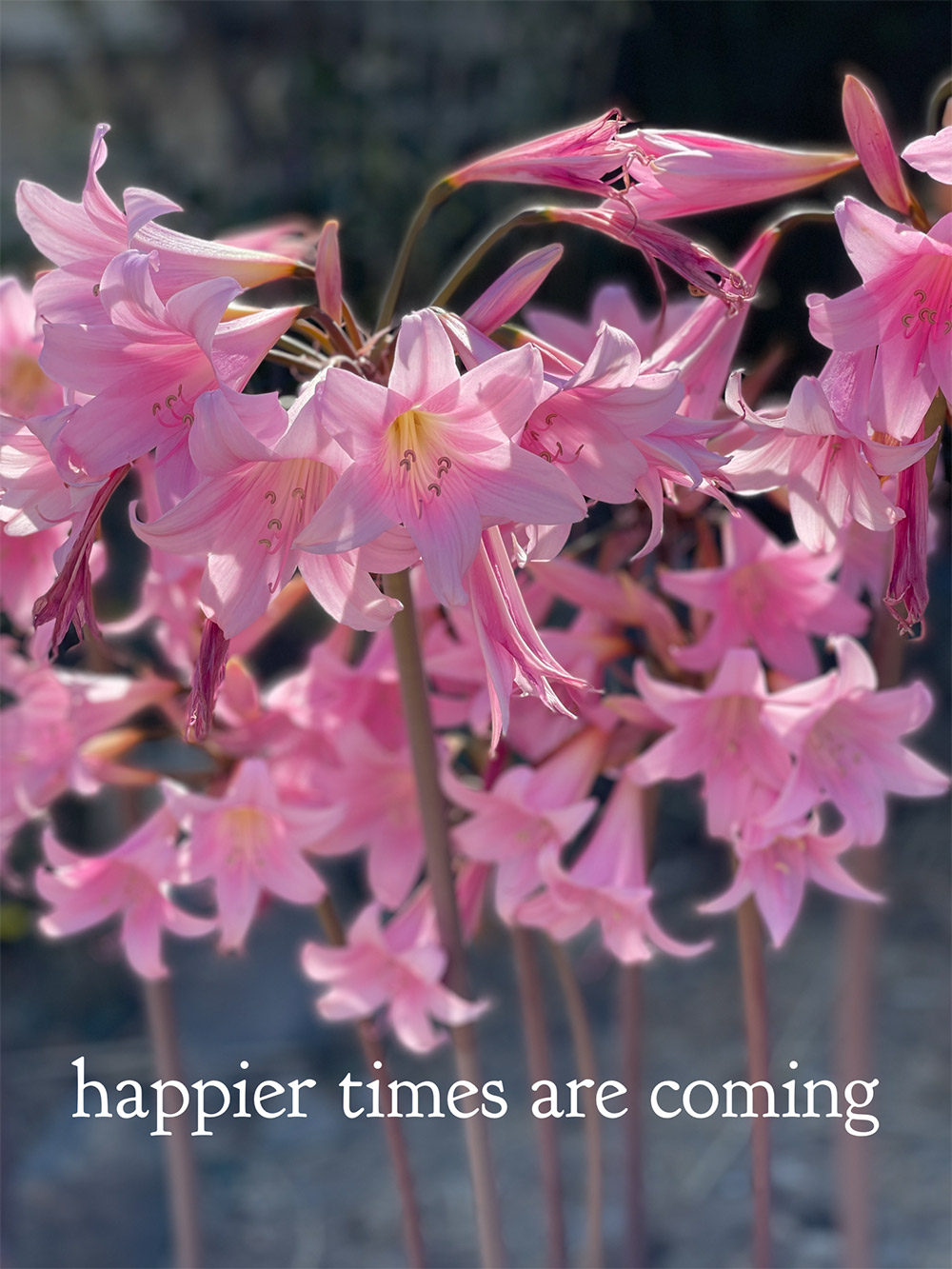 happier times pink flowers monday poll